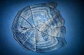 Scale GoldFish on blue background ; Polarized light illumination compensator plate gypsum, x 20