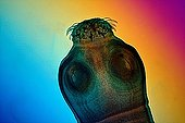 Pork Tapeworm scolex  ; Light polarized light with gypsum compensating plate, x 100