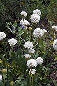 Thrift 'Brutus' in bloom in a garden