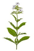 Soapwort in bloom on white background