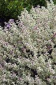 Thym 'Silver Posie' en fleur dans un jardin