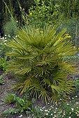 European fan palm 'Vulcano' in a garden