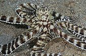 Mimic Octopus Topical Indo-Pacific Ocean Indonesia