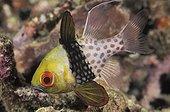 Pajama Cardinalfish Tropical Pacific Ocean Indonesia