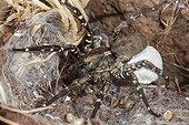Deserta Grande Wolf Spider and cocoon Deserta island Madeira