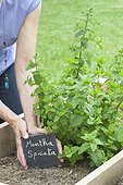 Etiquette slate before a Spearmint plant