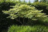 Japanese Angelica tree 'Aureovariegata' in a garden