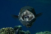 Great Barracuda and Bluestreak cleaner wrasse Red Sea Sudan