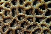 Lacuna Coral detail Red Sea Sudan