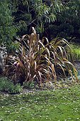 Phormium 'Jester' in a garden