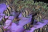 Banggai Cardinalfishes Tropical Indo-Pacific Ocean Indonesia