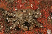Crabe rampant sur un Tunicier Washington USA