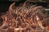 Giant Pacific Octopus Washington USA