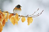 Brambling during winter