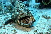 Brown Marbled Grouper cleaning station Red Sea Sudan