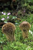 Spiny Puffballs undergrowth France