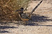 Greater Roadrunner with Tiger Whiptail Joshua's tree NM