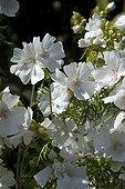 Musk mallow 'Alba' in bloom in a garden