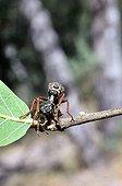 Robber fly and Cicada Chiricahua mountains Arizona USA