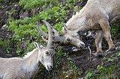 Ibex young males facing Valais Switzerland