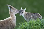 Ibex and young Valais Switzerland