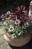 Gazania in bloom in a garden