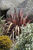Phormium 'Rainbow Queen' in a garden