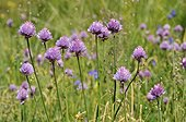 Chives flowers Alpes France  ; Altitude: 2290 m