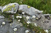 Chickweed flowers on rock Alpes France  ; Altitude: 2290 m