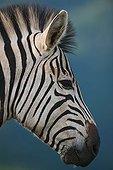 Burchell's zebra Umgeni Valley Reserve KwaZulu-Natal