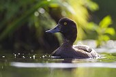 Tufted Duck on a pond in spring Sologne France