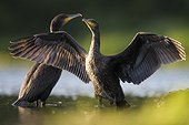 Deux Grands cormorans au printemps en Sologne France