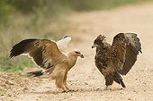 Rivalry between two juvenile eagles Kruger NP in RSA