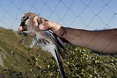 Banding Eurasian Jay Bretolet Pass Swiss Alps  ; Each year between 10 and 20 000 birds of 100 species are catch and ring the Col de Bretolet<br>