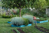 Immortals in bloom in a squarefoot garden