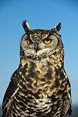 Portrait of Cape Eagle Owl KwaZulu Natal South Africa