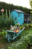 Harvest of vegetables in a wheelbarrow and garden shed