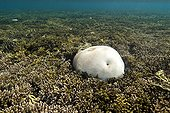 Brain coral reef emerging from New Caledonia