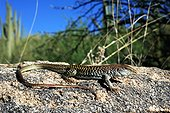 Canyon spotted Whiptail on a rock Arizona USA