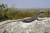 Chihuahuan Spotted Whiptail on a rock Arizona USA