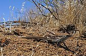 Great Basin Whiptail Mohave national preserve California USA