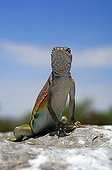Greater earless Lizard on a rock New-Mexico USA