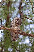 Southern white-faced owl turning the head sideways Kgalagadi