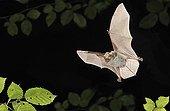 Bechstein's bat flying Belgium
