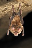 Blasius Horseshoe Bat hanging in a cave Bulgaria