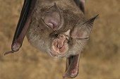 Portrait of Blasius Horseshoe Bat hanging Bulgaria