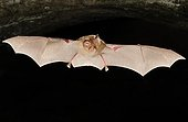 Blasius Horseshoe Bat flying Bulgaria