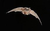 European free-tailed bat on flight Spain