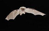 Iberian Natterer's Bat in flight Pyrenees Spain
