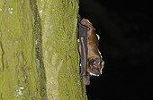 Noctule on a trunk Belgium